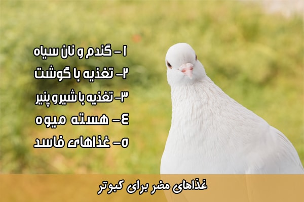 غذای مضر برای کبوتر