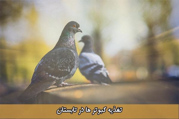 غذای کبوتر در تابستان