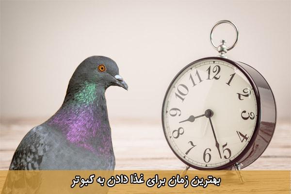 بهترین زمان برای غذا دادن به کبوتر