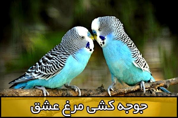 جوجه کشی مرغ عشق