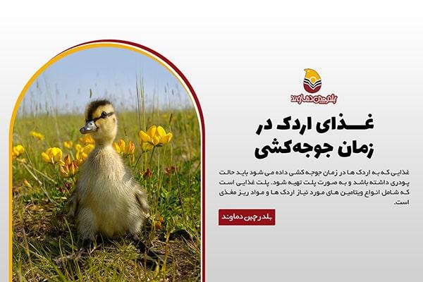 غذای اردک در زمان جوجه کشی
